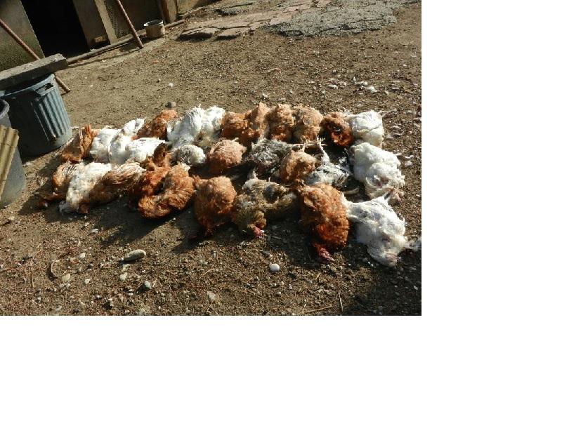 29 poules et 1 coq